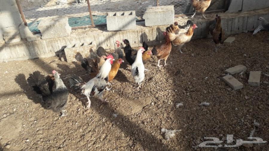 دجاج بلدي بياض تهجين فيومي