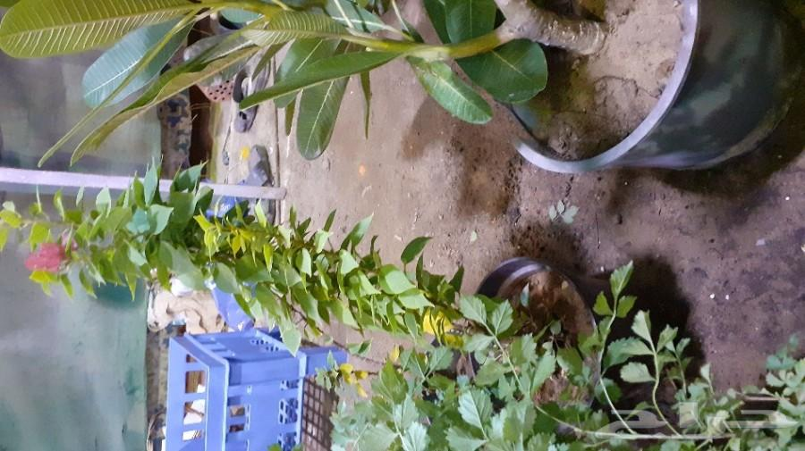 مشاتل زراعيه لبيع شتلات السليمانيه وحي الورود
