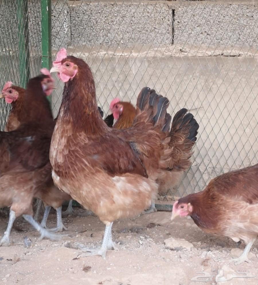 دجاج فرنسي احمر