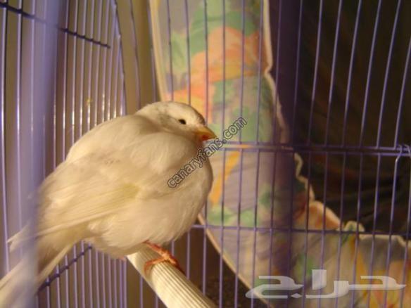 معالج الطيور ولتبني