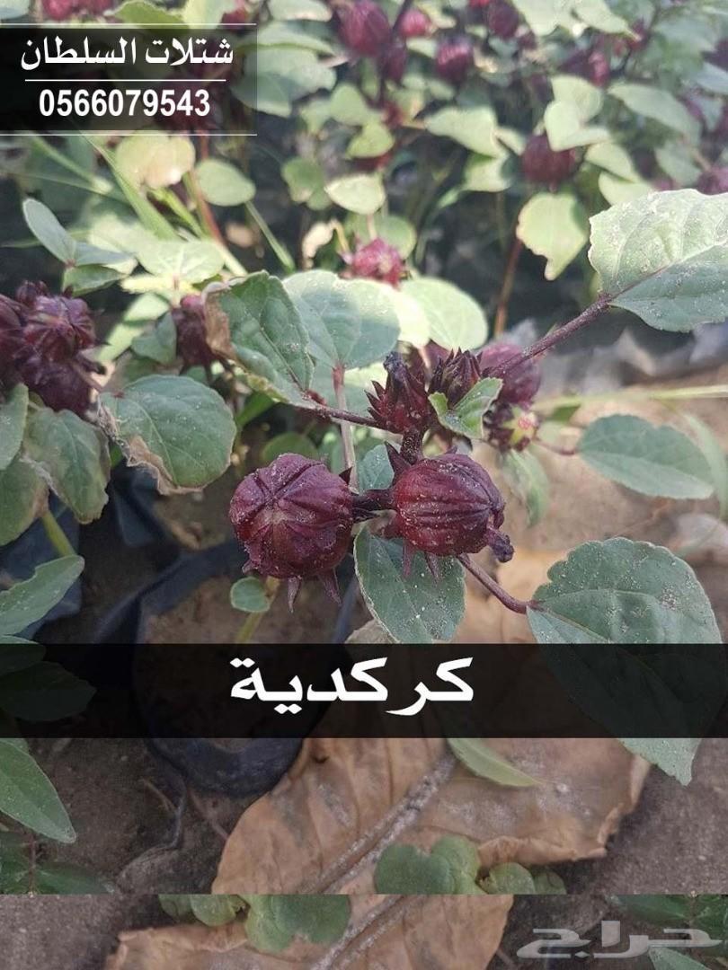 شتلات السلطان .. 0566079543