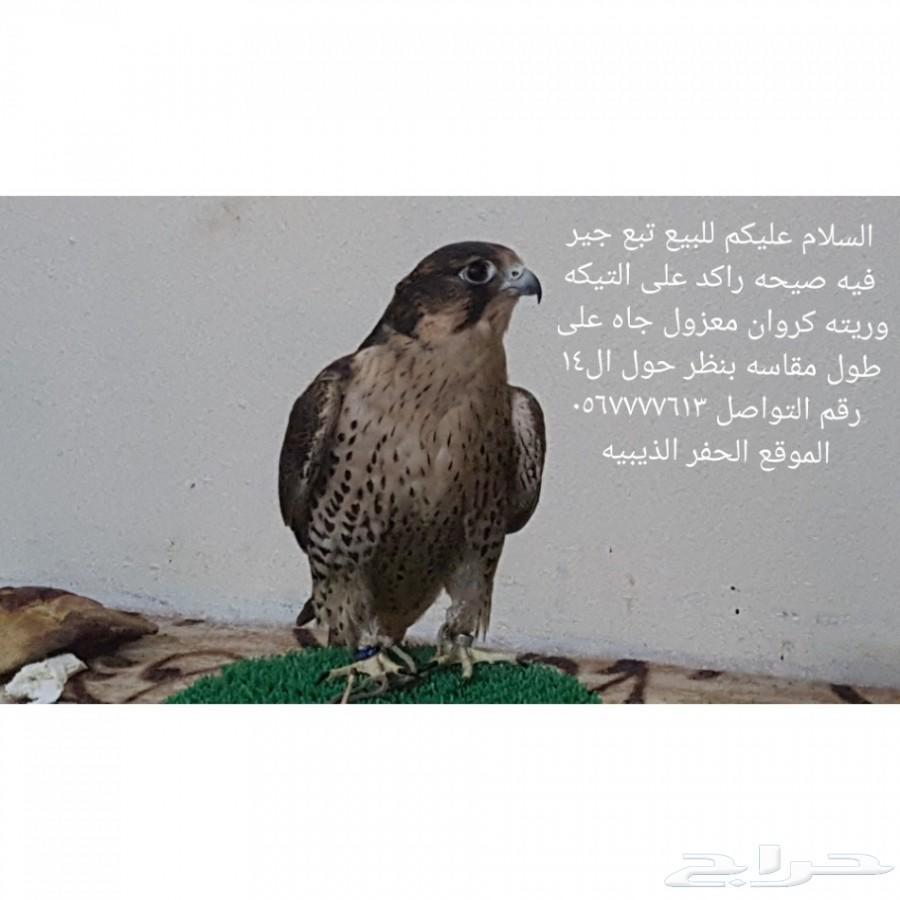 صقر طير للبيع 1442 900x900-1_-5e89dbdd4cc16
