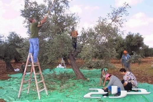 زيت زيتون فلسطيني معصور عصرة أولى لكل المدن