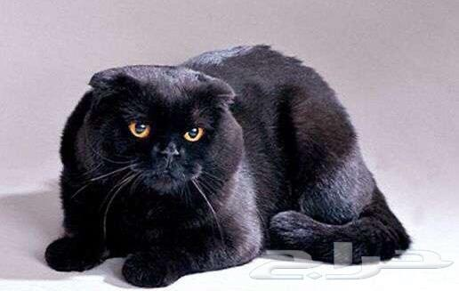 قطة بسة سكوتش دبل فولد ذكر اللون أسود بيور