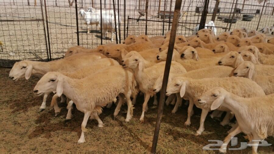79 رخال حريات صنف منوة القناي