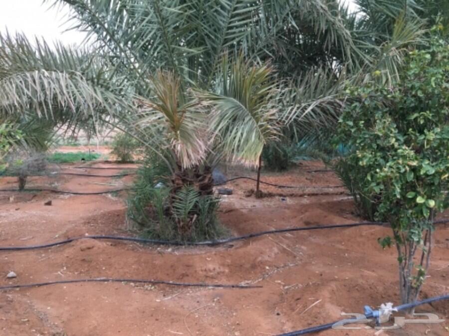 مزرعة بنخل مثمر وأشجار للايجار ب 12000 سنوي
