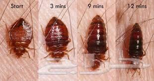 شركة مكافحة حشرات بجدة بق الفراش النمل الأبيض
