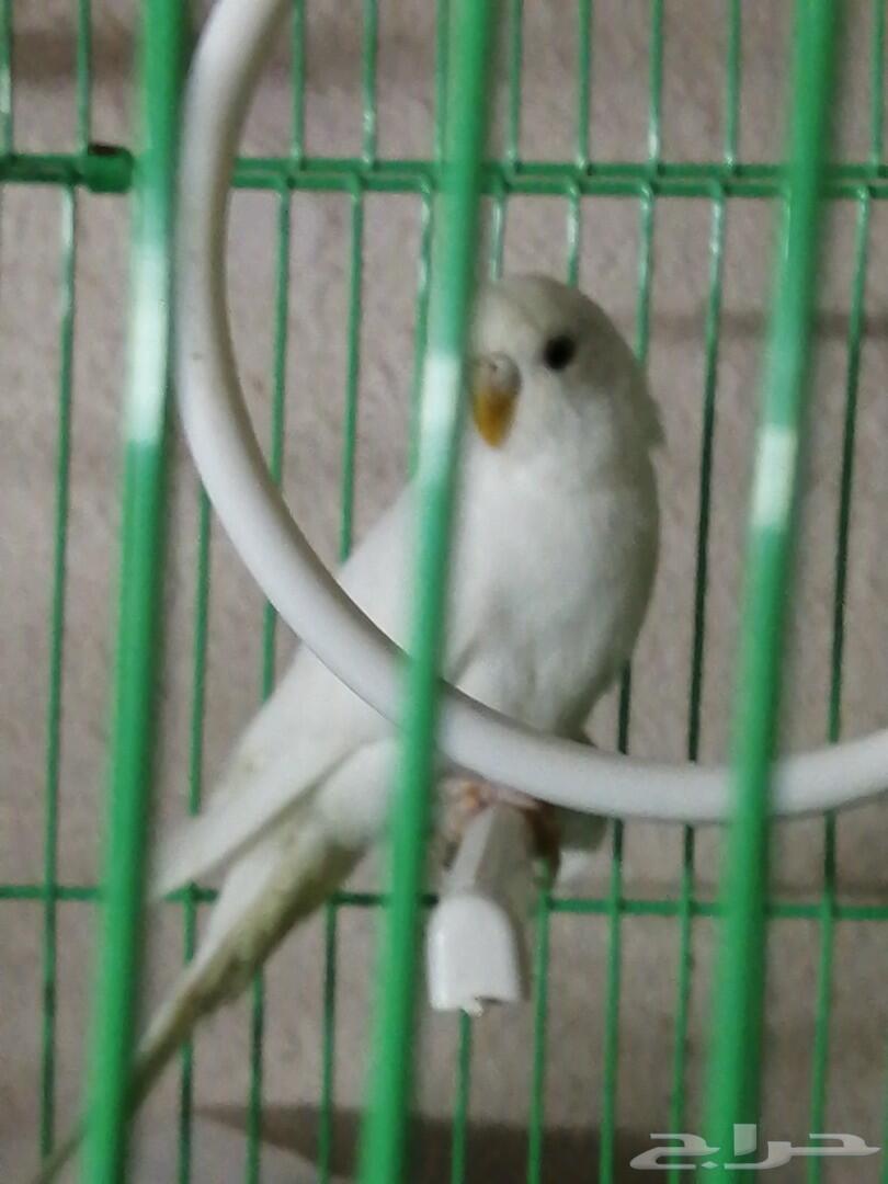 أنثى بادجي البينو