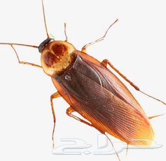 شركة رش مبيدات حشرات بجدة صراصير بق الفراش